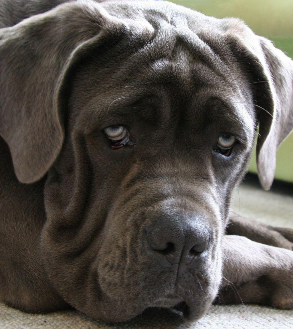 neapolitan mastiff4 Lovely Neapolitan Mastiff Lucy