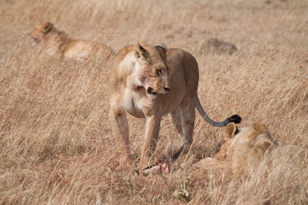kenya safari1 Masai Mara Camping Safari in Kenya