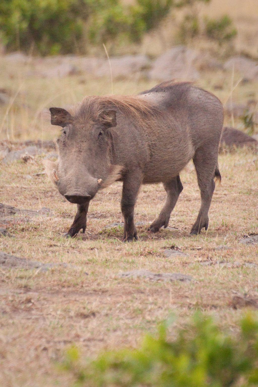 kenya safari10 Masai Mara Camping Safari in Kenya