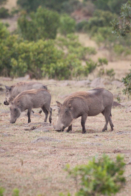 kenya safari21 Masai Mara Camping Safari in Kenya
