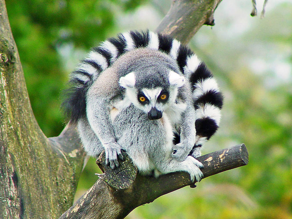 lemur catta5 The Most Recognized Lemur Catta