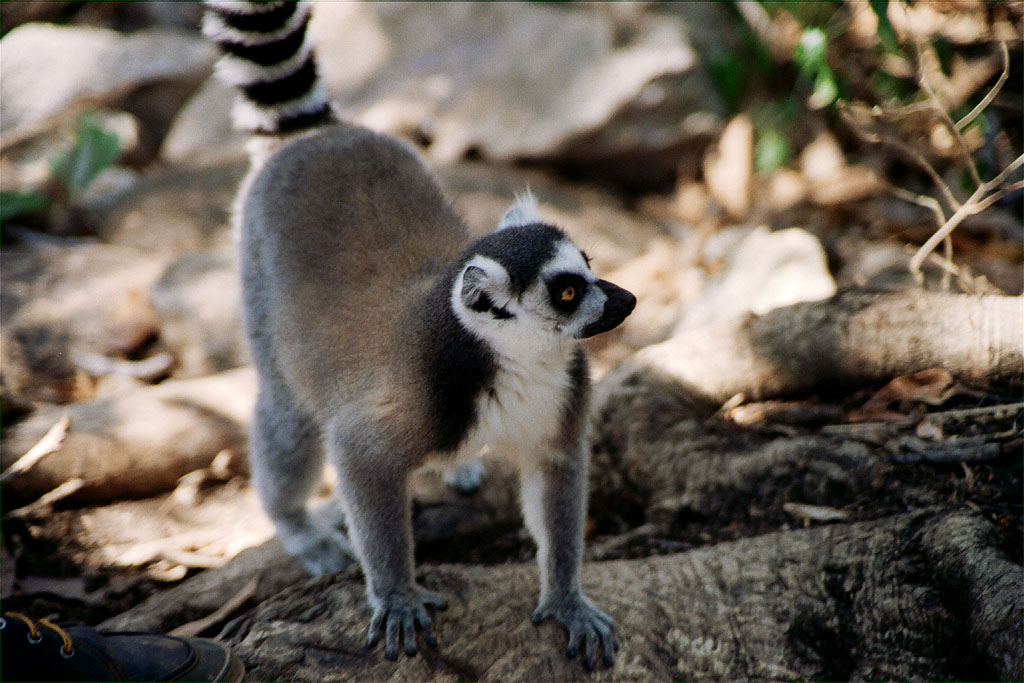 lemur catta9 The Most Recognized Lemur Catta
