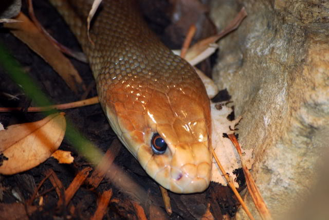 taipan The Most Venomous Snake in The World