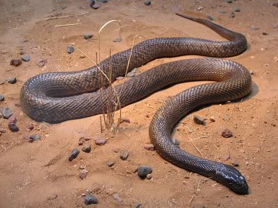 taipan10 The Most Venomous Snake in The World