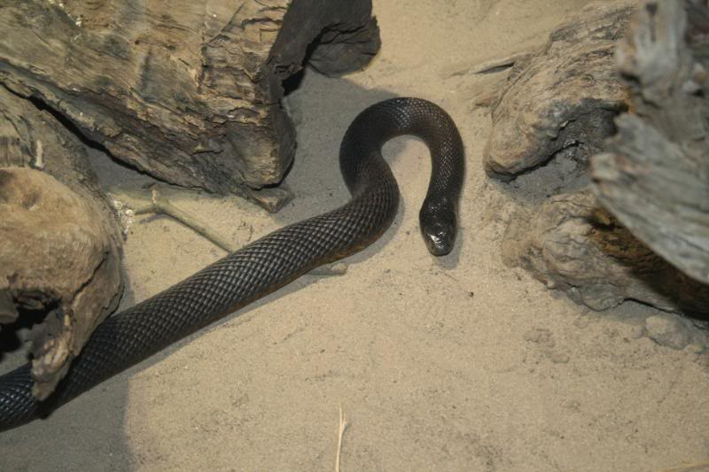 taipan13 The Most Venomous Snake in The World