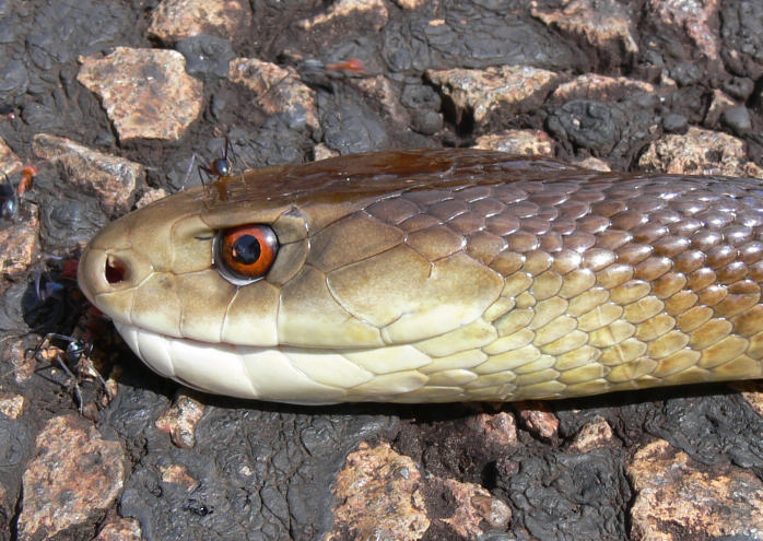 taipan3 The Most Venomous Snake in The World