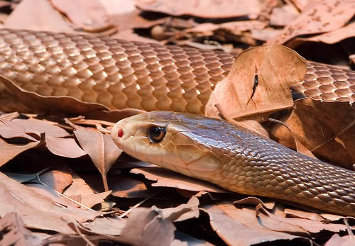 taipan4 The Most Venomous Snake in The World