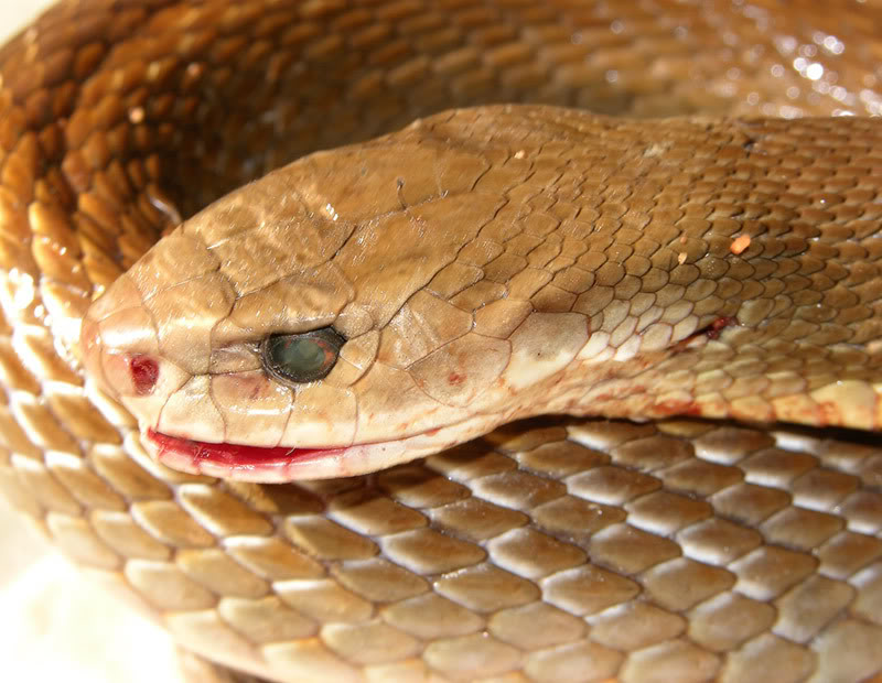 taipan6 The Most Venomous Snake in The World
