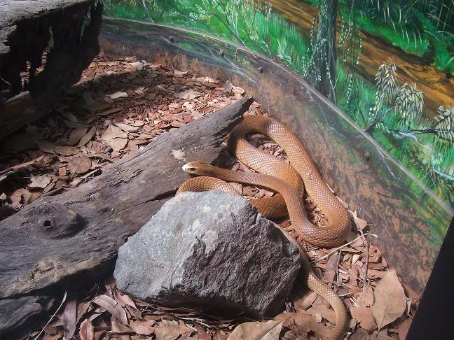 taipan7 The Most Venomous Snake in The World