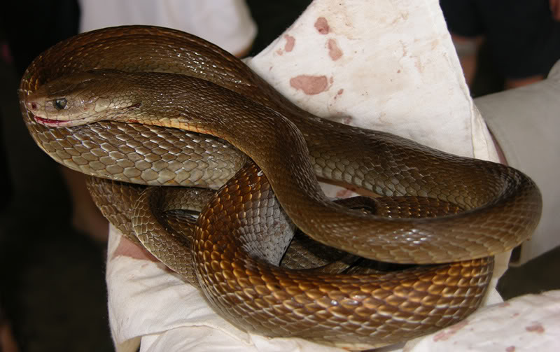 taipan9 The Most Venomous Snake in The World