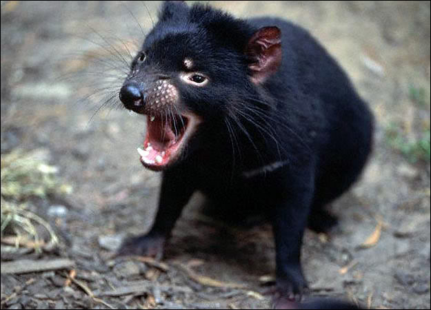 tasmanian devil1 The Tasmanian Devil   Nighttime Animal