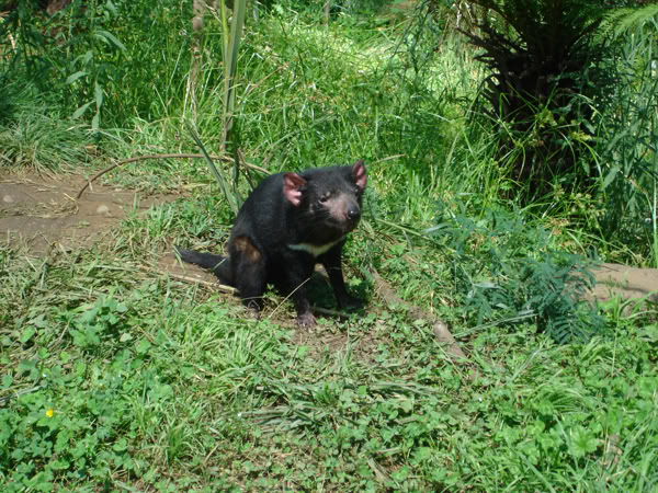 tasmanian devil7 The Tasmanian Devil   Nighttime Animal