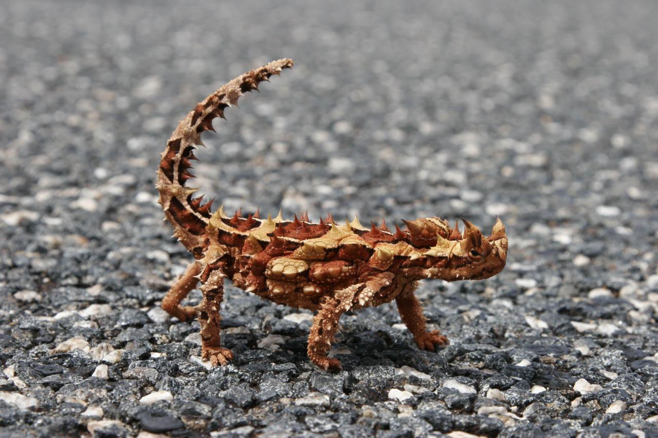 thorny devil Thorny Devil Lizard Looks Scary