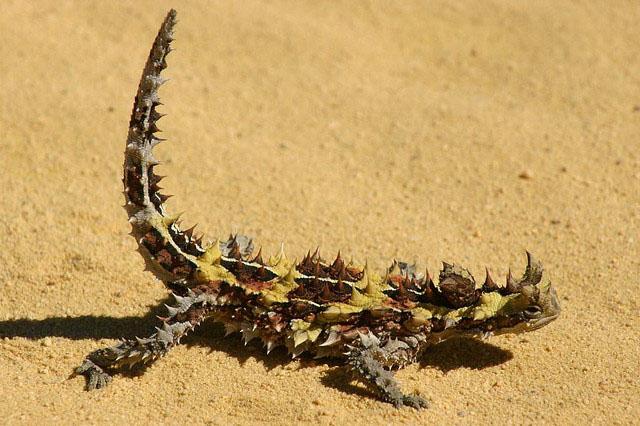 thorny devil3 Thorny Devil Lizard Looks Scary