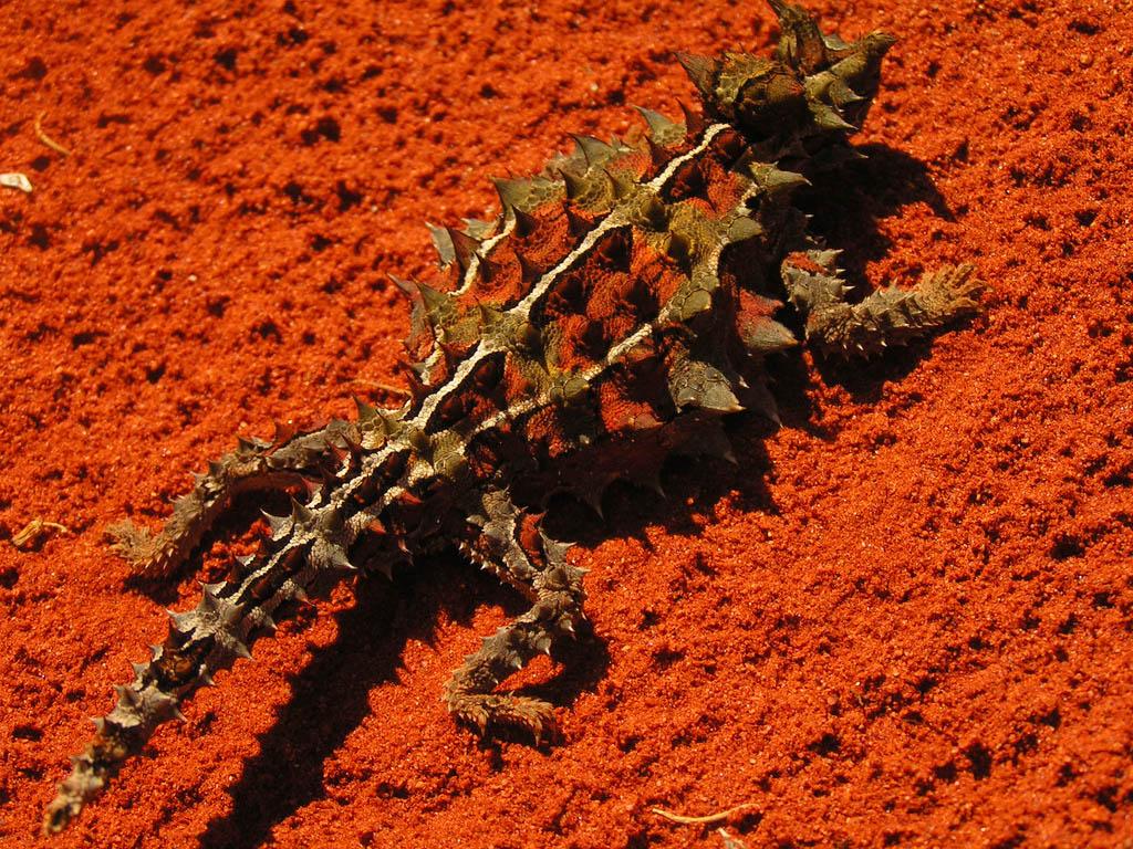 thorny devil4 Thorny Devil Lizard Looks Scary