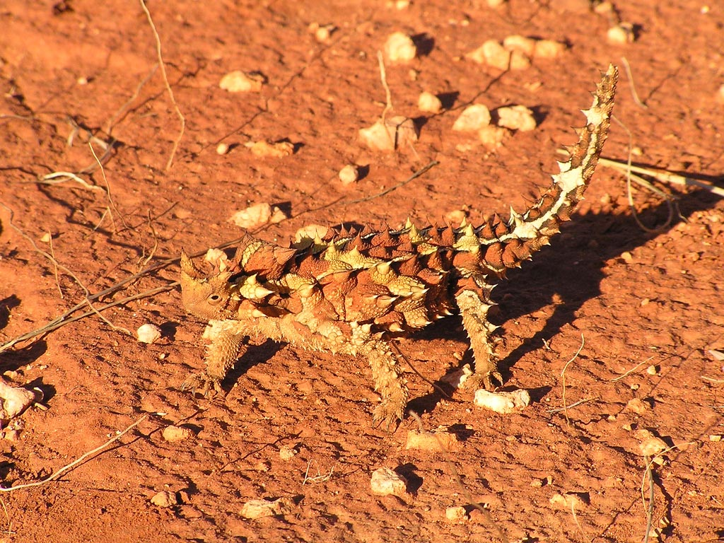 thorny devil5 Thorny Devil Lizard Looks Scary