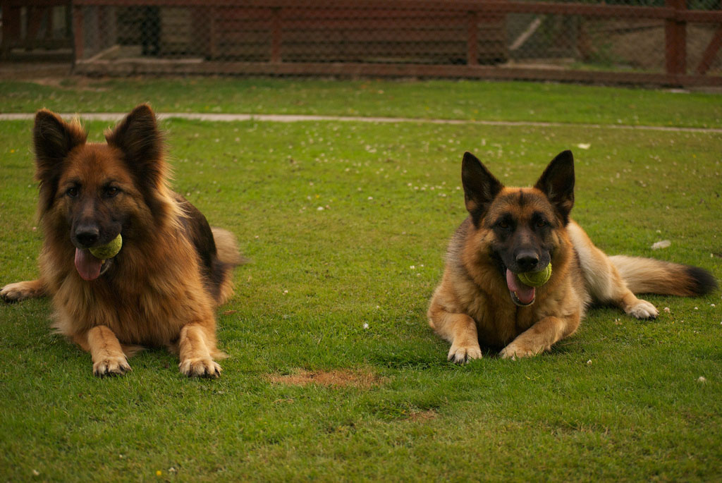 top ten smartest dogs6 Top Ten of Smartest Dogs