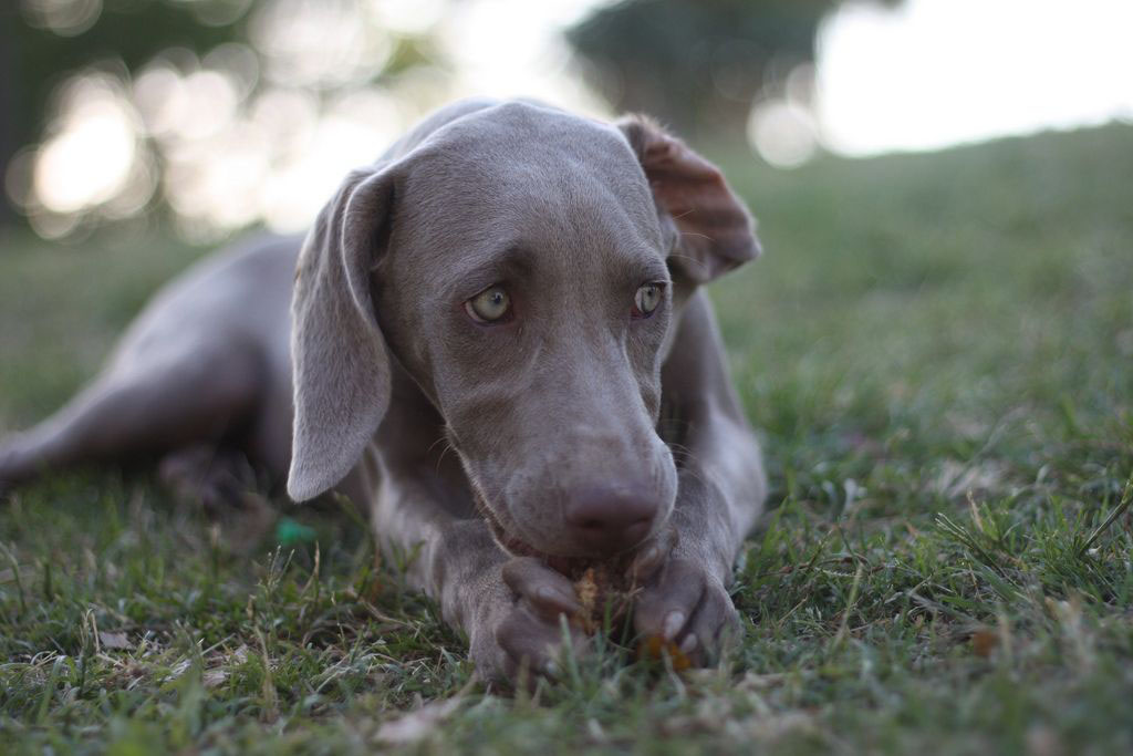 weimaraner Weimaraner   The Right Dog for You
