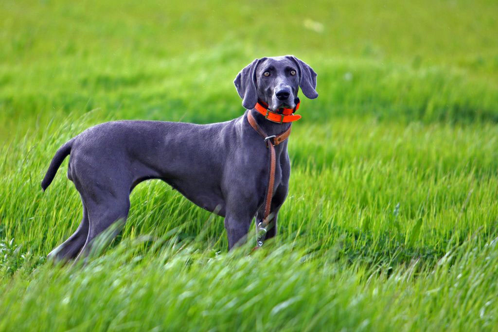 weimaraner2 Weimaraner   The Right Dog for You
