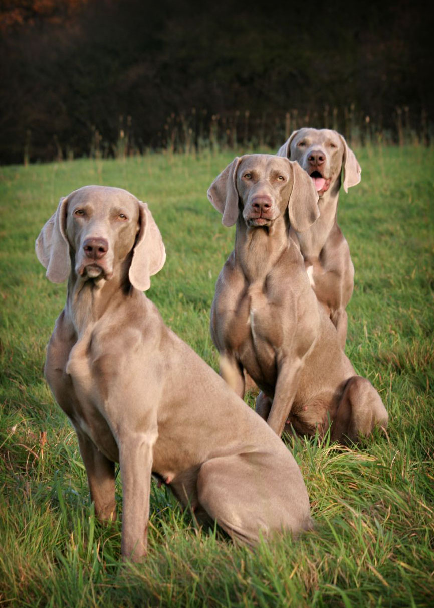 weimaraner3 Weimaraner   The Right Dog for You