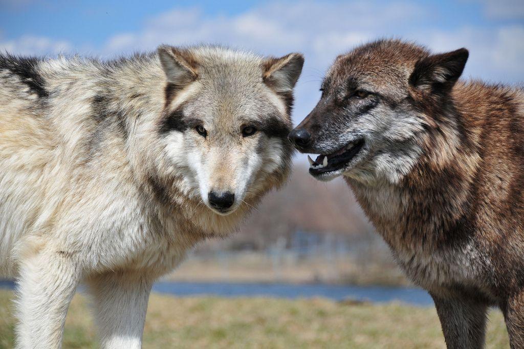wolf park1 Wildlife Education   Wolf Park