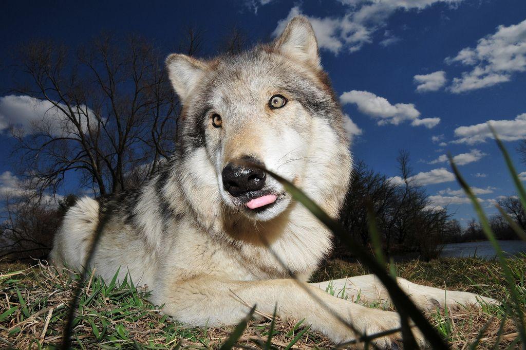 wolf park3 Wildlife Education   Wolf Park