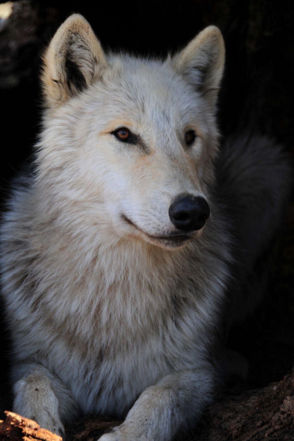wolf park5 Wildlife Education   Wolf Park