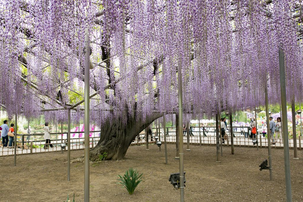 ashikaga flower park Amazing Ashikaga Flower Park, Japan