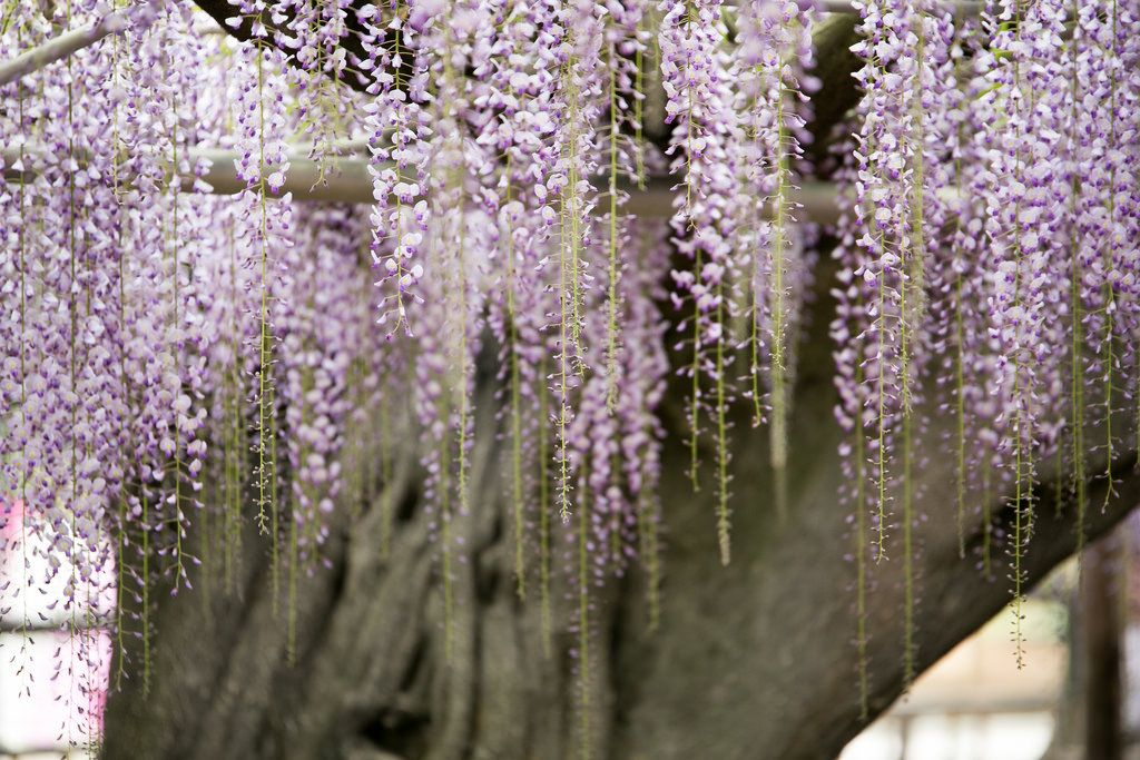 ashikaga flower park2 Amazing Ashikaga Flower Park, Japan