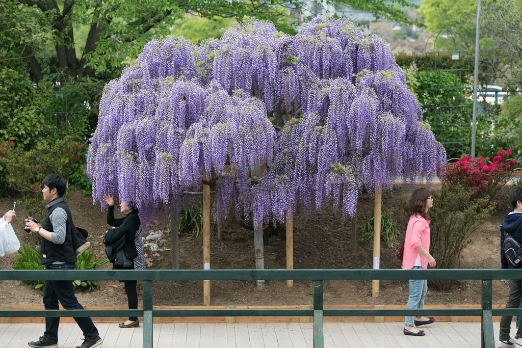 ashikaga flower park4 Amazing Ashikaga Flower Park, Japan