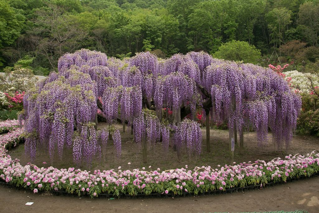 ashikaga flower park6 Amazing Ashikaga Flower Park, Japan