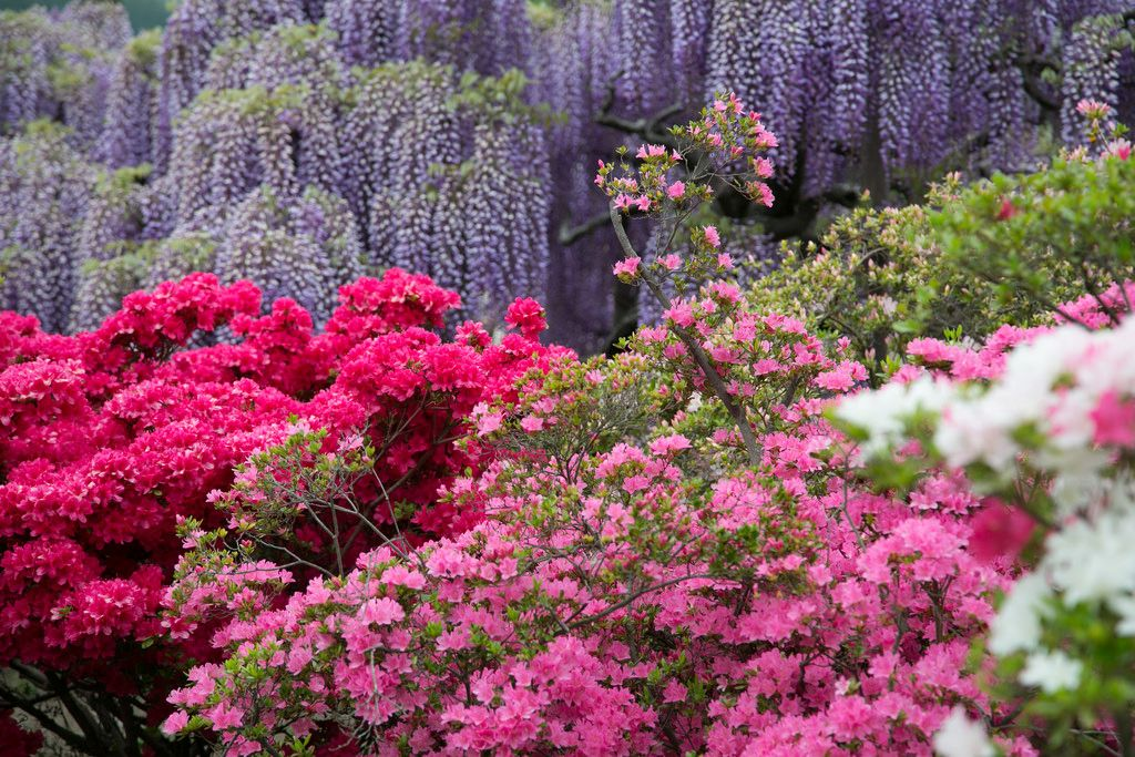 ashikaga flower park8 Amazing Ashikaga Flower Park, Japan