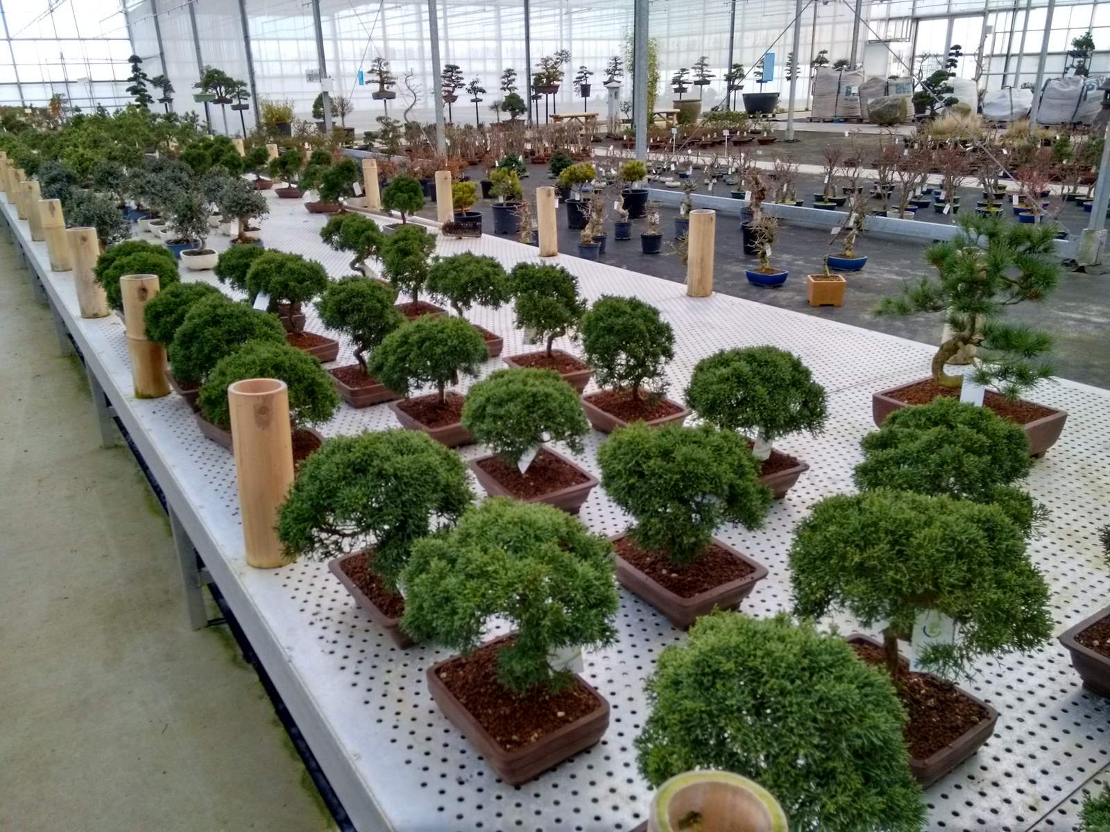 bonsai lodder8 Bonsai Lodder   One of the Largest Bonsai Store in the World, Netherlands