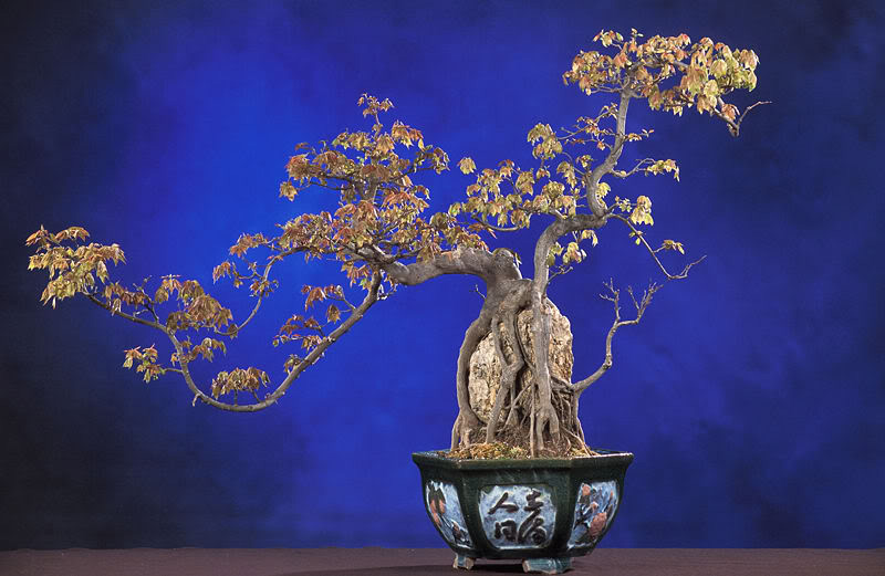 bonsai tree What is a Bonsai Tree ?