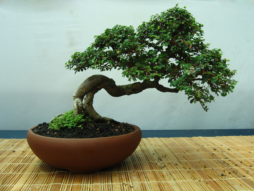 bonsai tree1 What is a Bonsai Tree ?