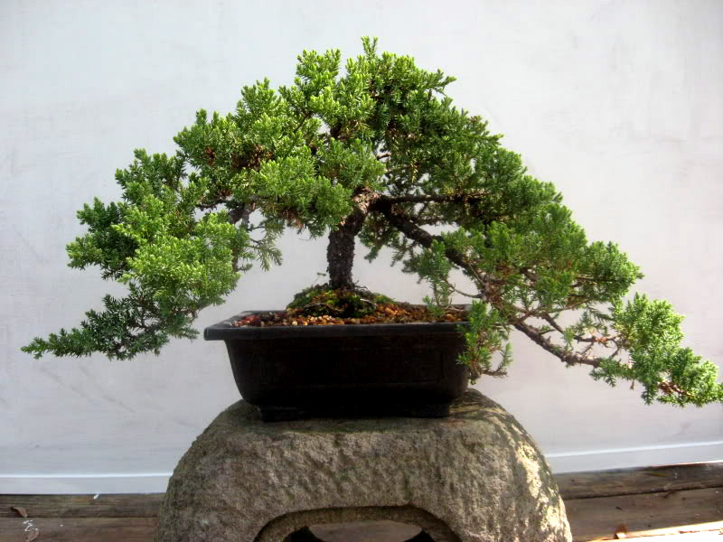 bonsai tree10 What is a Bonsai Tree ?