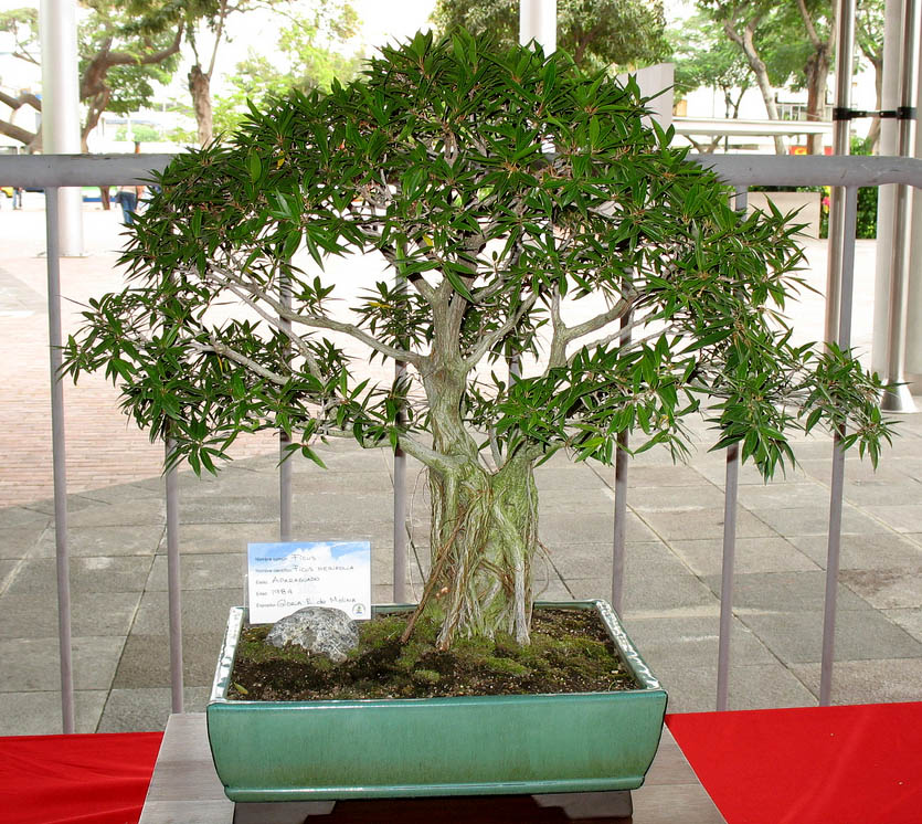 bonsai tree16 What is a Bonsai Tree ?