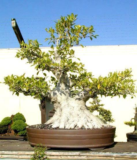 bonsai tree6 What is a Bonsai Tree ?