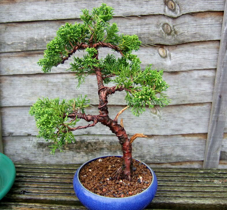 bonsai tree7 What is a Bonsai Tree ?