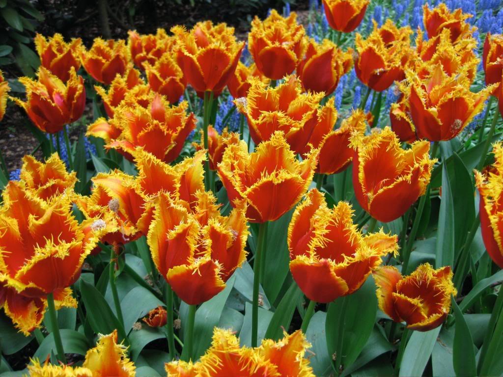 keukenhof8 Colorful Keukenhof Gardens in Netherlands