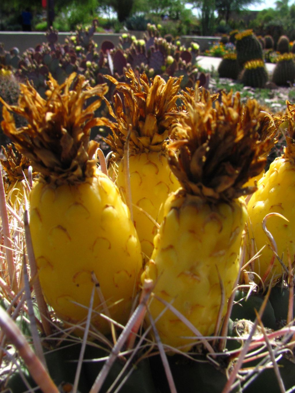 desert botanical garden5 Desert Botanical Garden at Papago Park, Phoenix