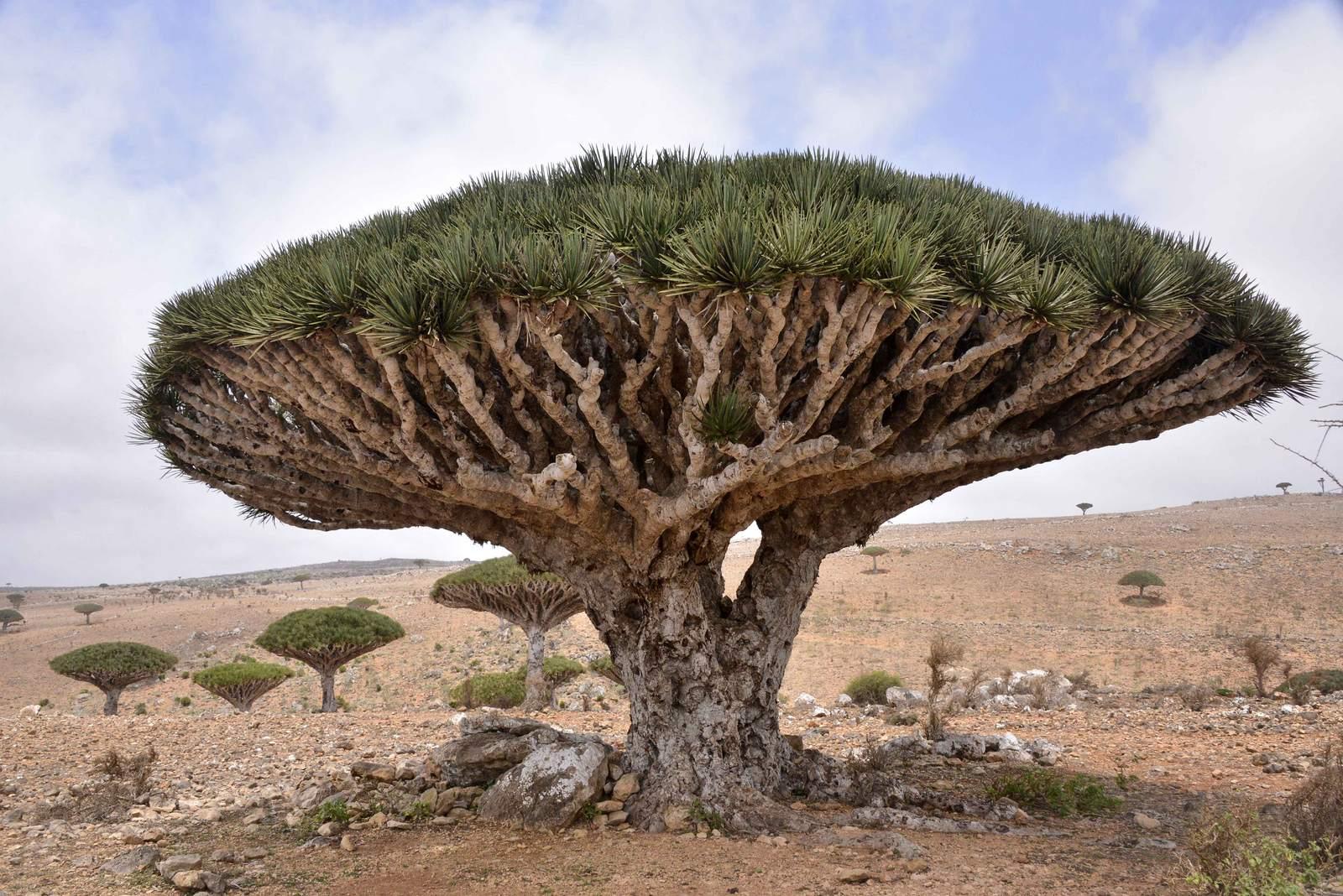 socotra Dragons Blood Tree at Socotra Island, Yemen