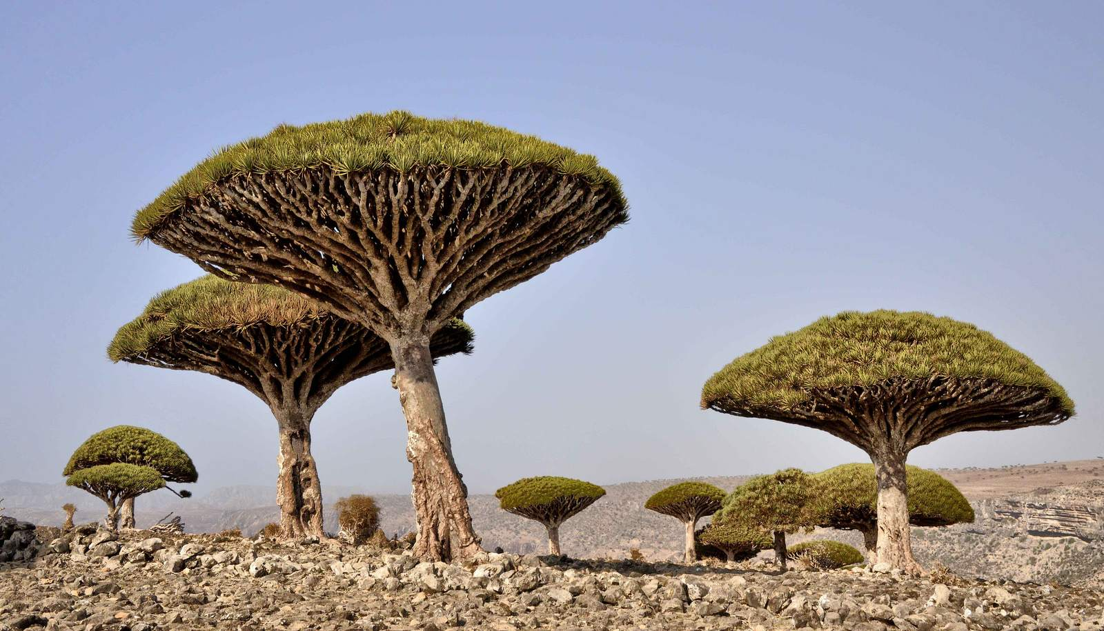socotra1 Dragons Blood Tree at Socotra Island, Yemen