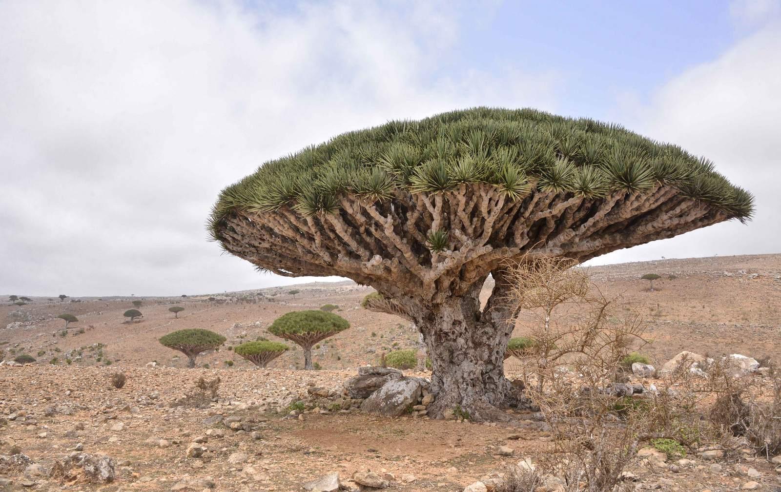 socotra2 Dragons Blood Tree at Socotra Island, Yemen