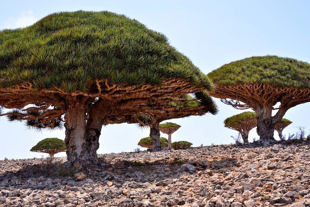 socotra3 Dragons Blood Tree at Socotra Island, Yemen