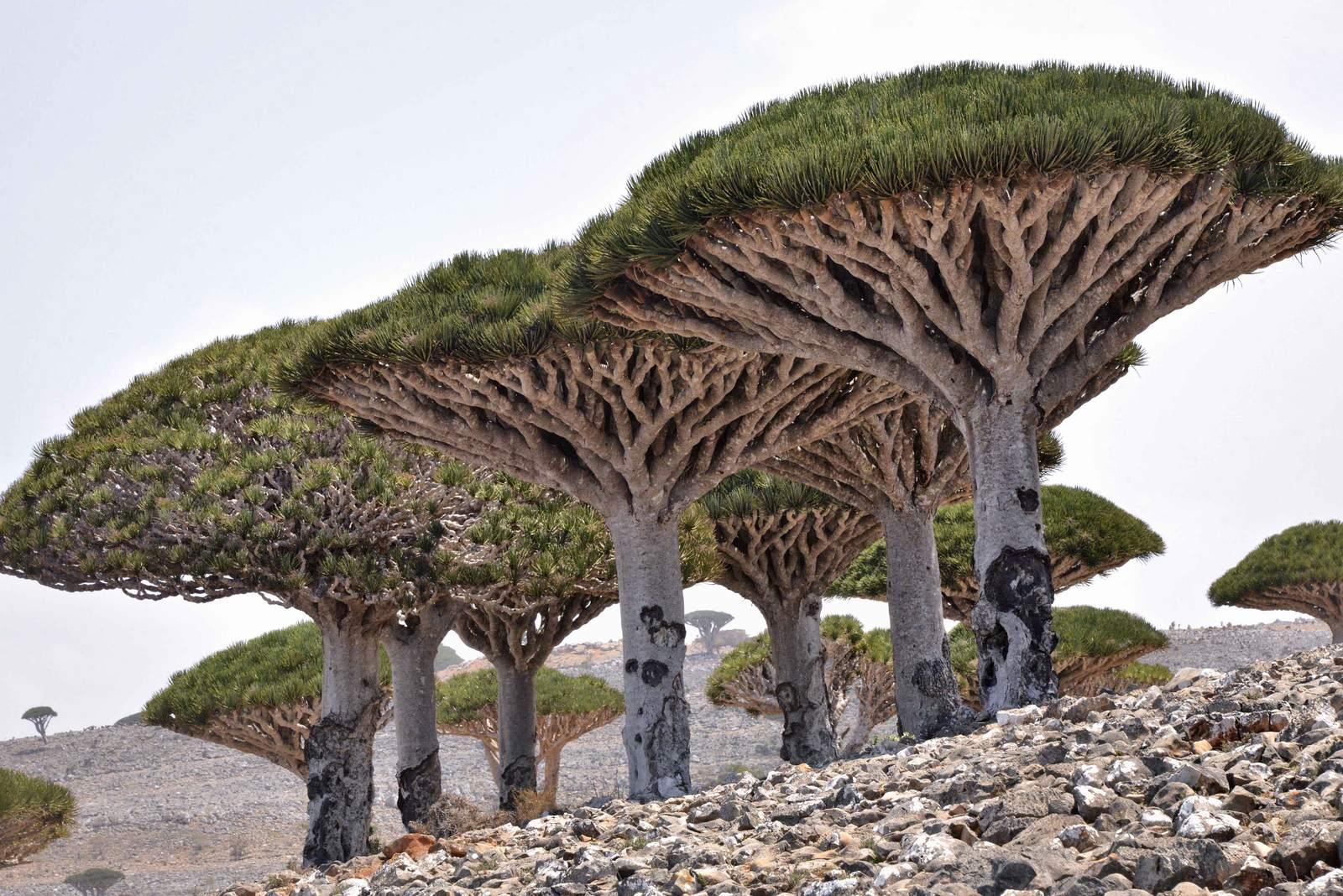 socotra4 Dragons Blood Tree at Socotra Island, Yemen