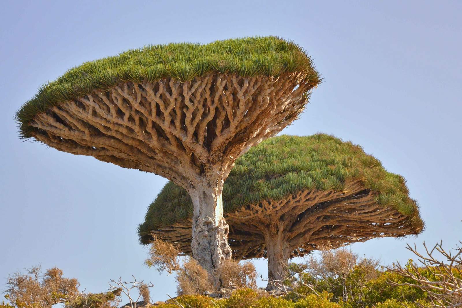 socotra6 Dragons Blood Tree at Socotra Island, Yemen
