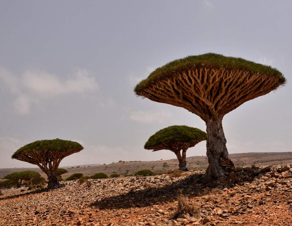 socotra7 Dragons Blood Tree at Socotra Island, Yemen