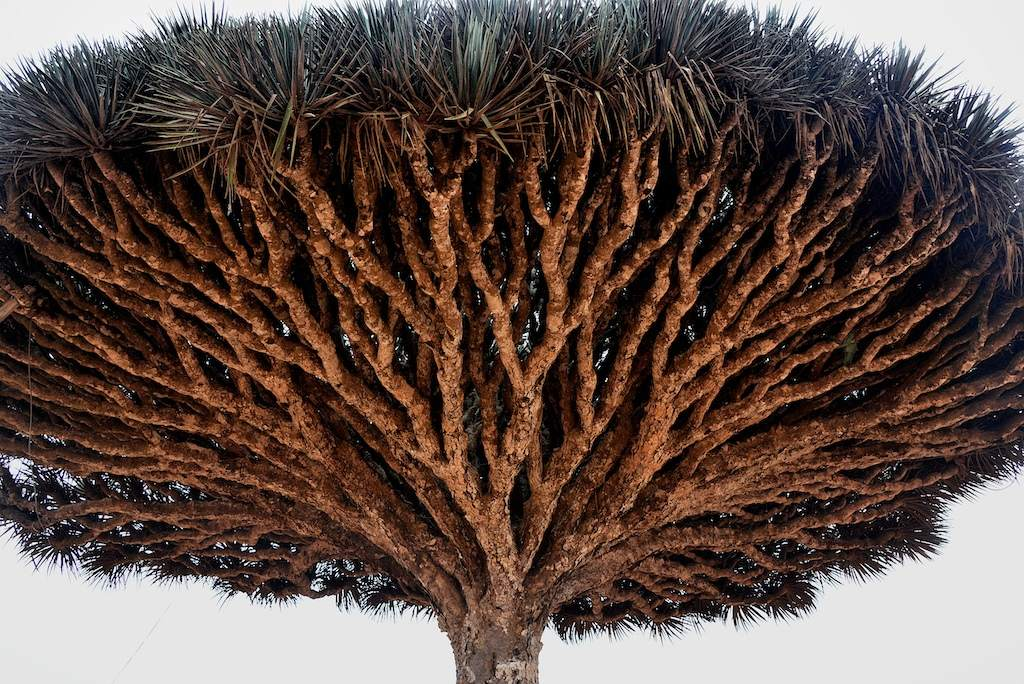 socotra8 Dragons Blood Tree at Socotra Island, Yemen