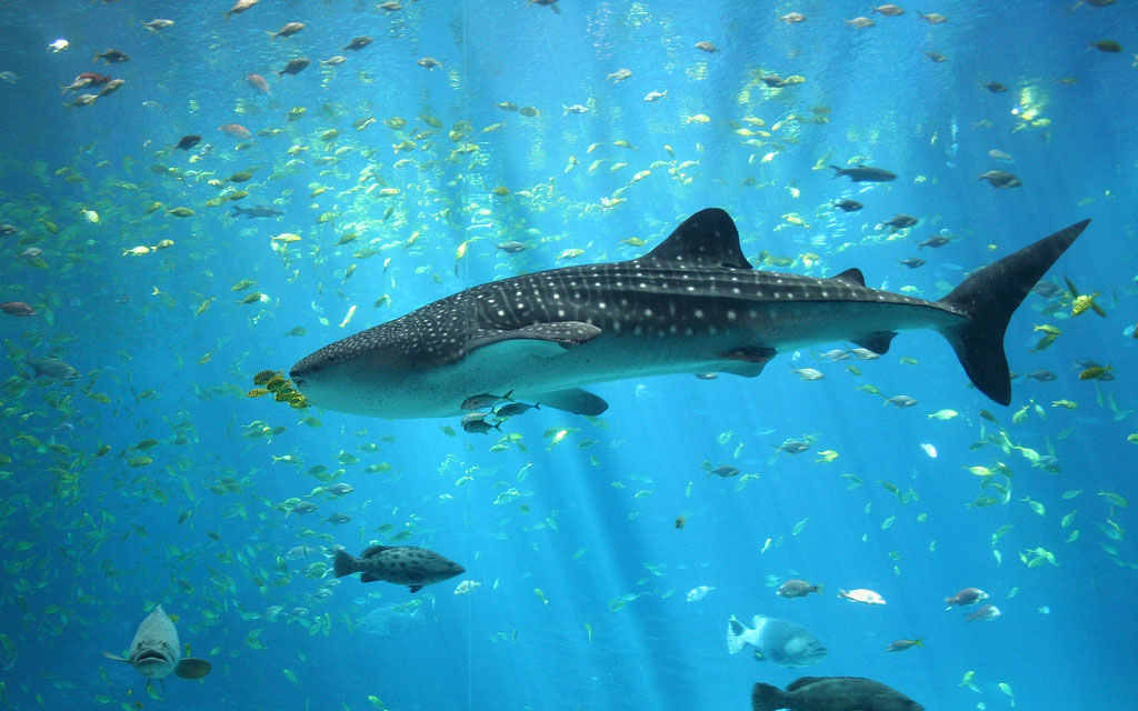 whale shark Whale Shark The Worlds Biggest Fish